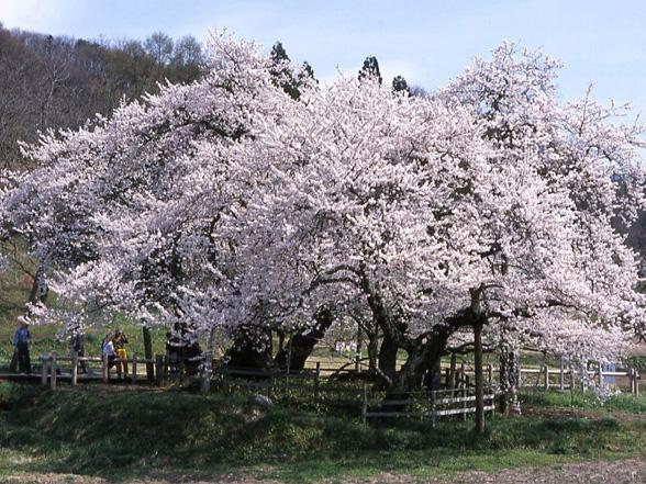 桜の画像 p1_10