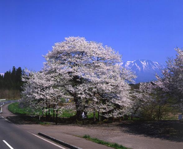 桜の画像 p1_13